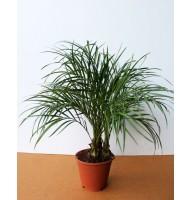 Финиковая пальма Робелена