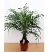 Финик Робелена, Финиковая пальма
