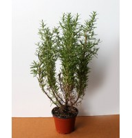 Rosemary (Holland)