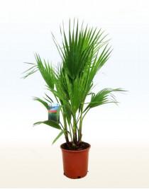 Вашингтония, пальма