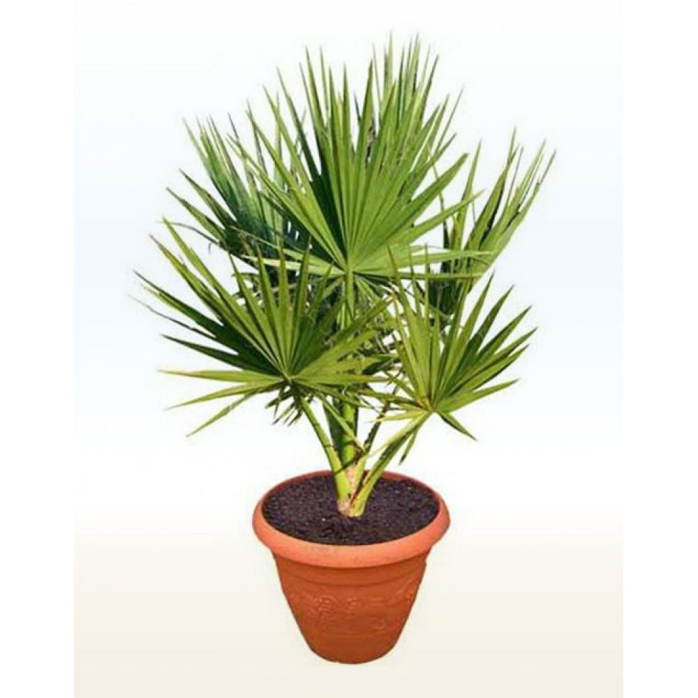 Washingtonia, palm