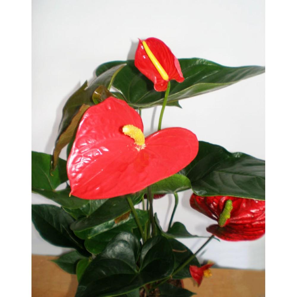 Anthurium, Flowertail