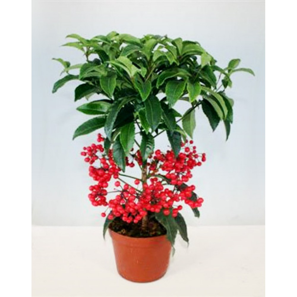 Ardisia or Christmas berry
