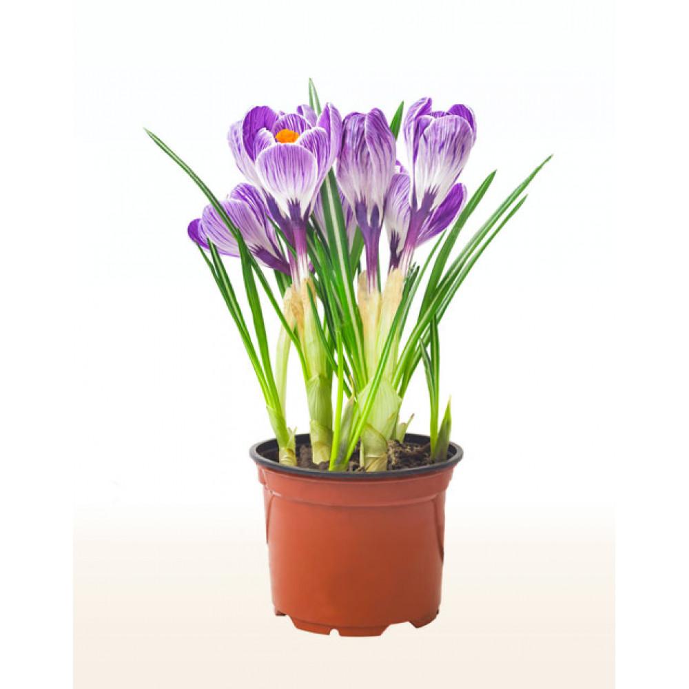 Crocus, saffron