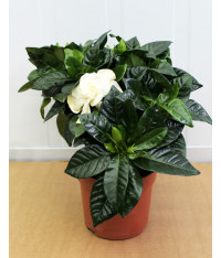 Gardenia jasmine