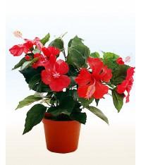 Гибискус, Китайская роза