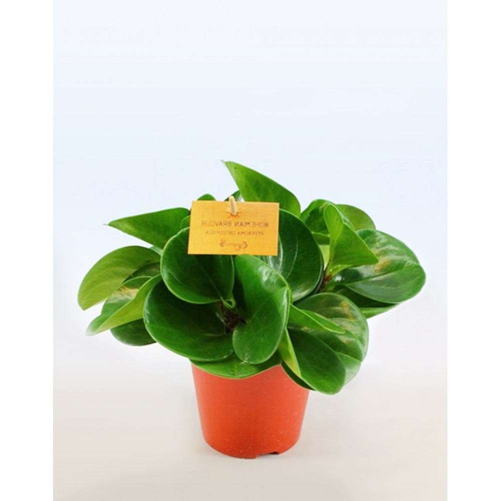 Peperomia blunt-leaved Green Gold