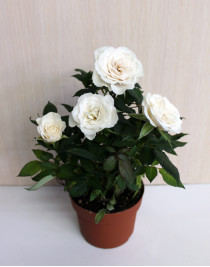 Small indoor rose