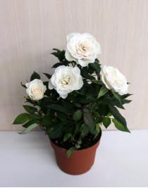 Роза комнатная маленькая