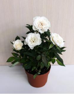 Роза кімнатна маленька