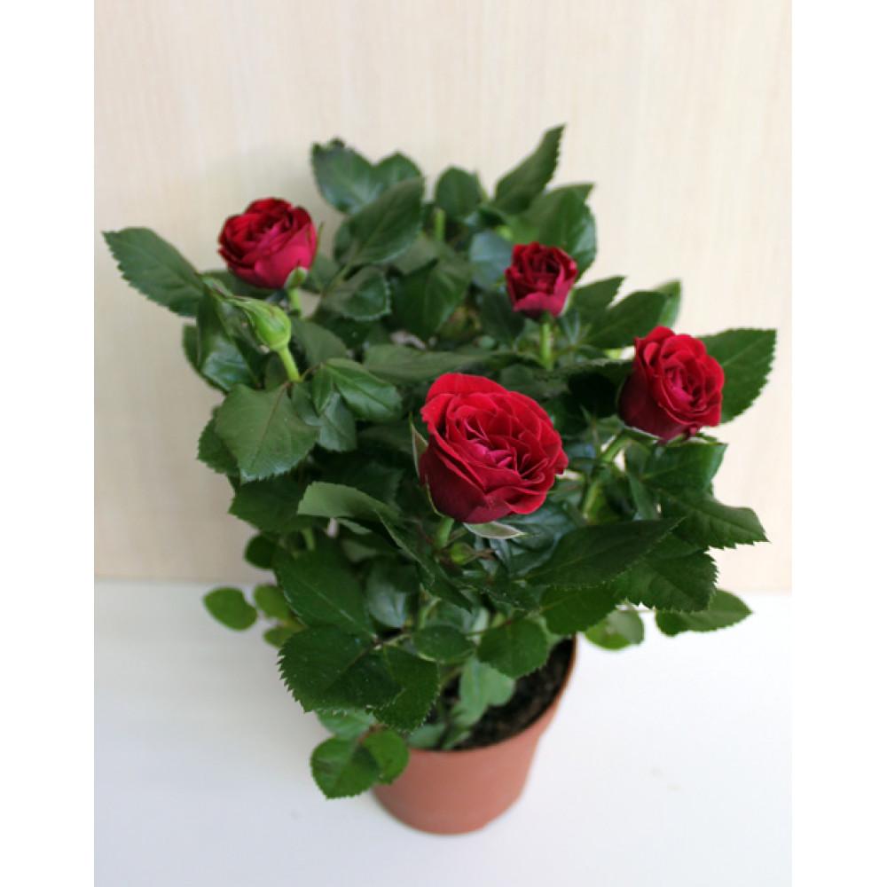 Роза кімнатна