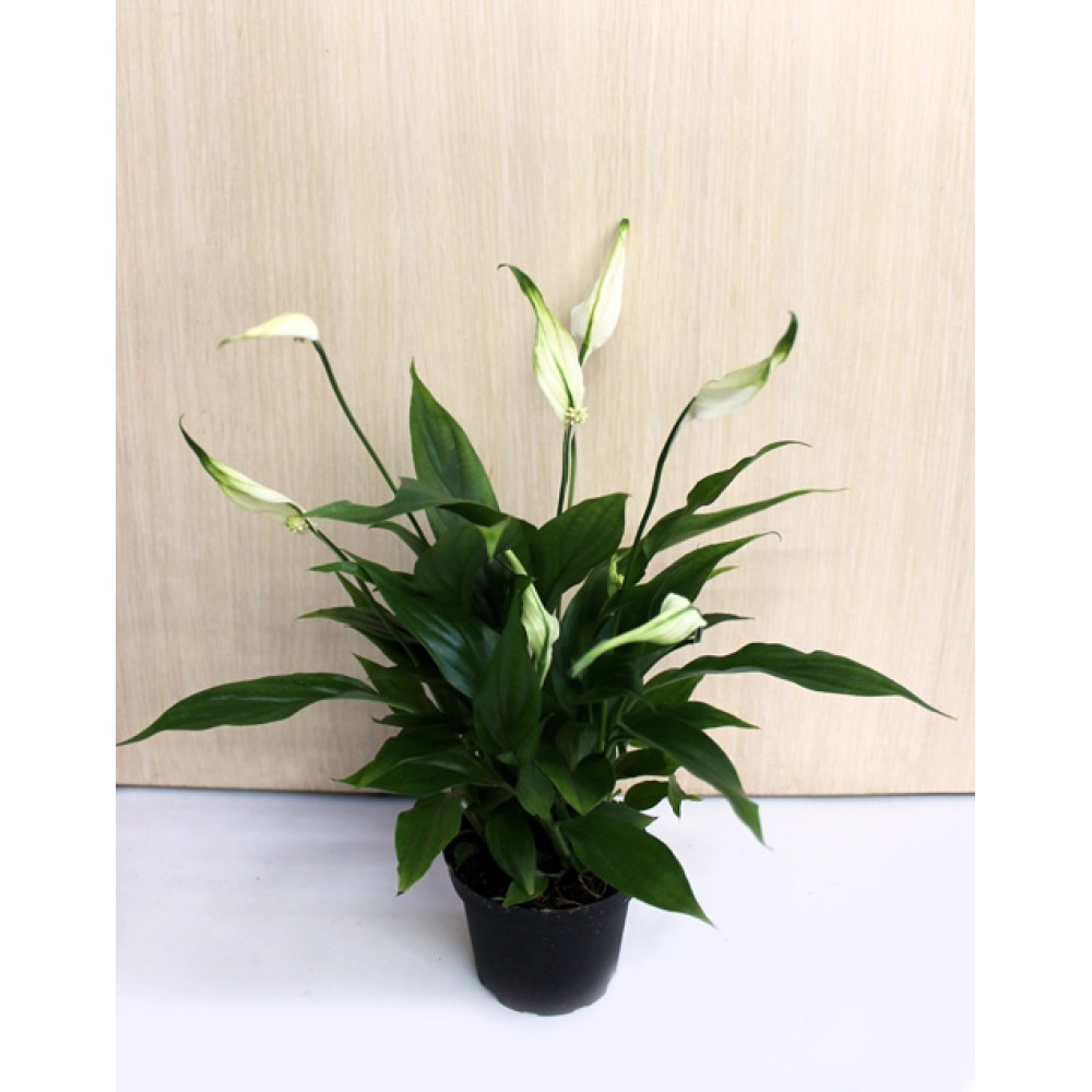 Spathiphyllum small