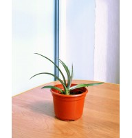 Pineapple Caena indoor (0.1-0.2m)