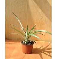 Pineapple Caena indoor (0.2-0.3m)