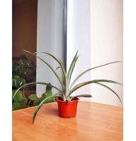 Pineapple Caena indoor (0.3-0.4m)