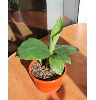 Banana Kiev dwarf (0.2-0.3m)