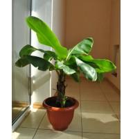 Банан Київський карлик (1,0-1,3м)