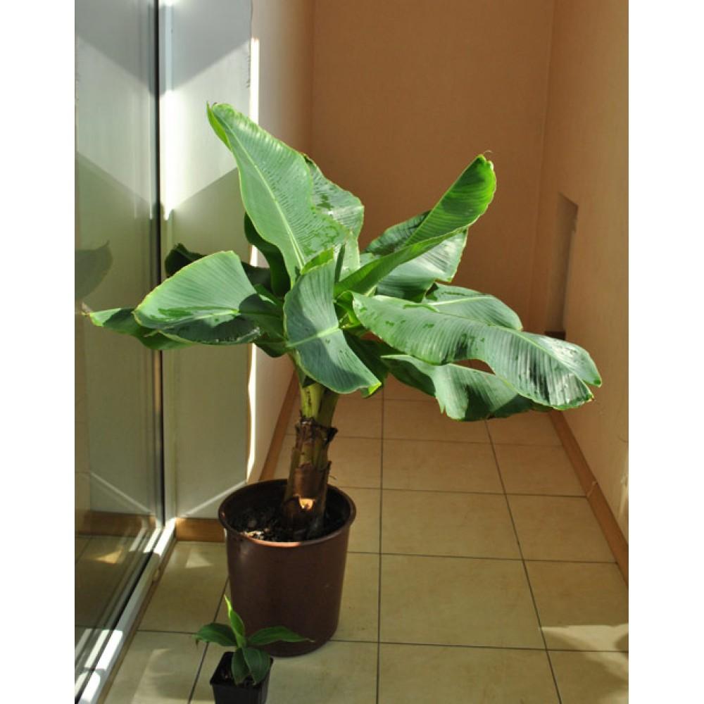 Банан Київський карлик (1,5-1,8м)