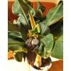 Банан Киевский карлик с плодами (1м)