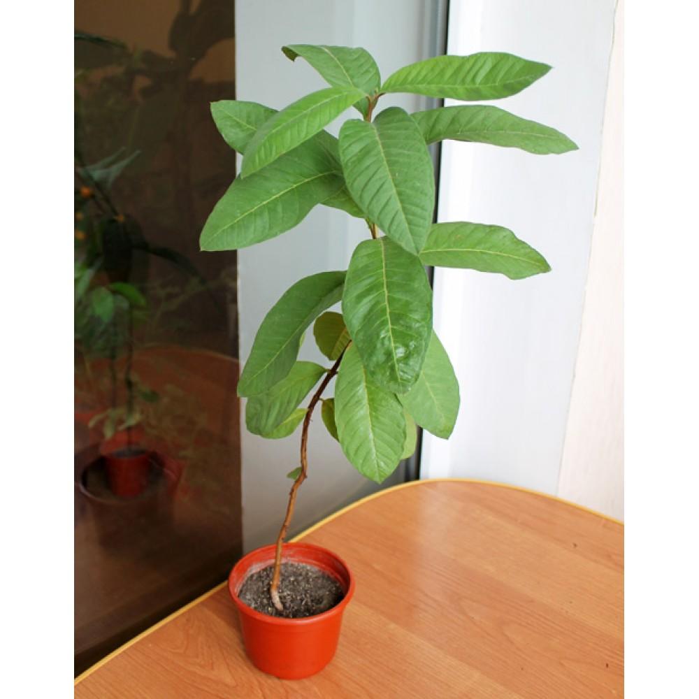 Guayava, room guava (0.6-0.9m)