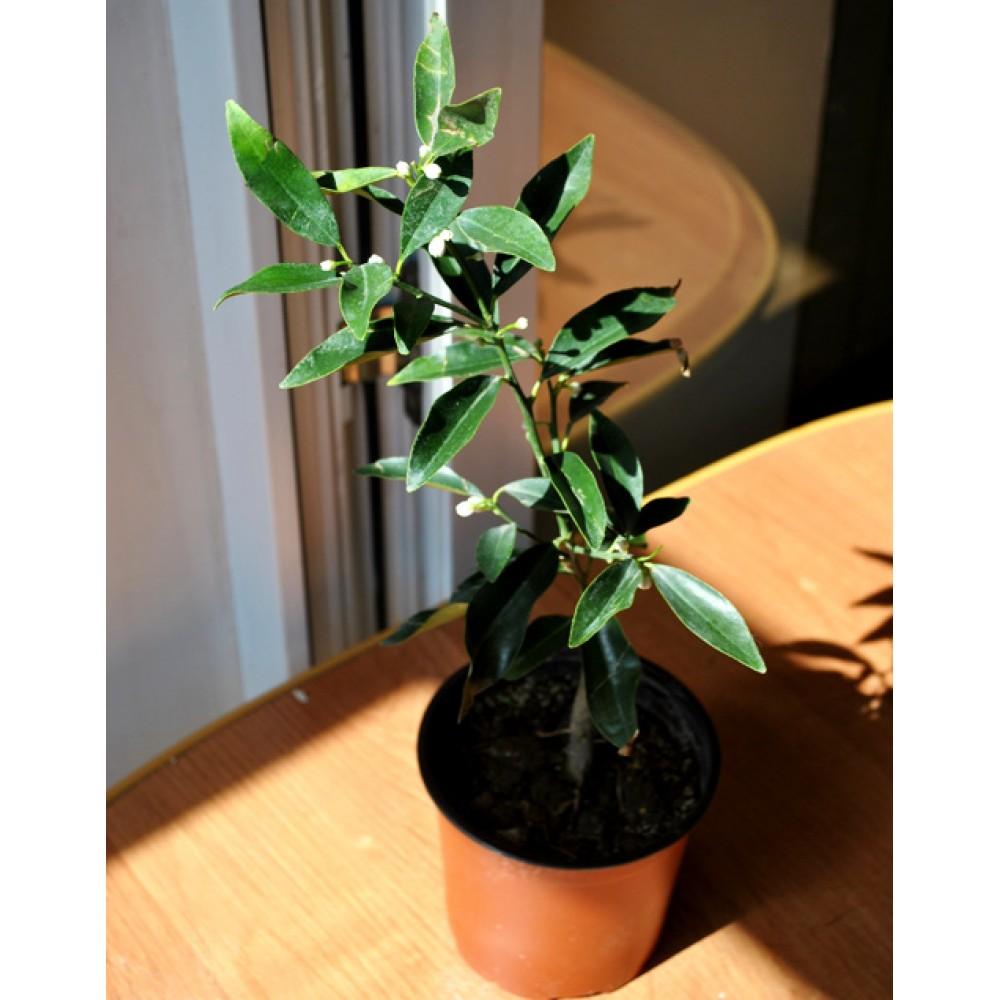 Kinkan, kumquat (0.3-0.4m)