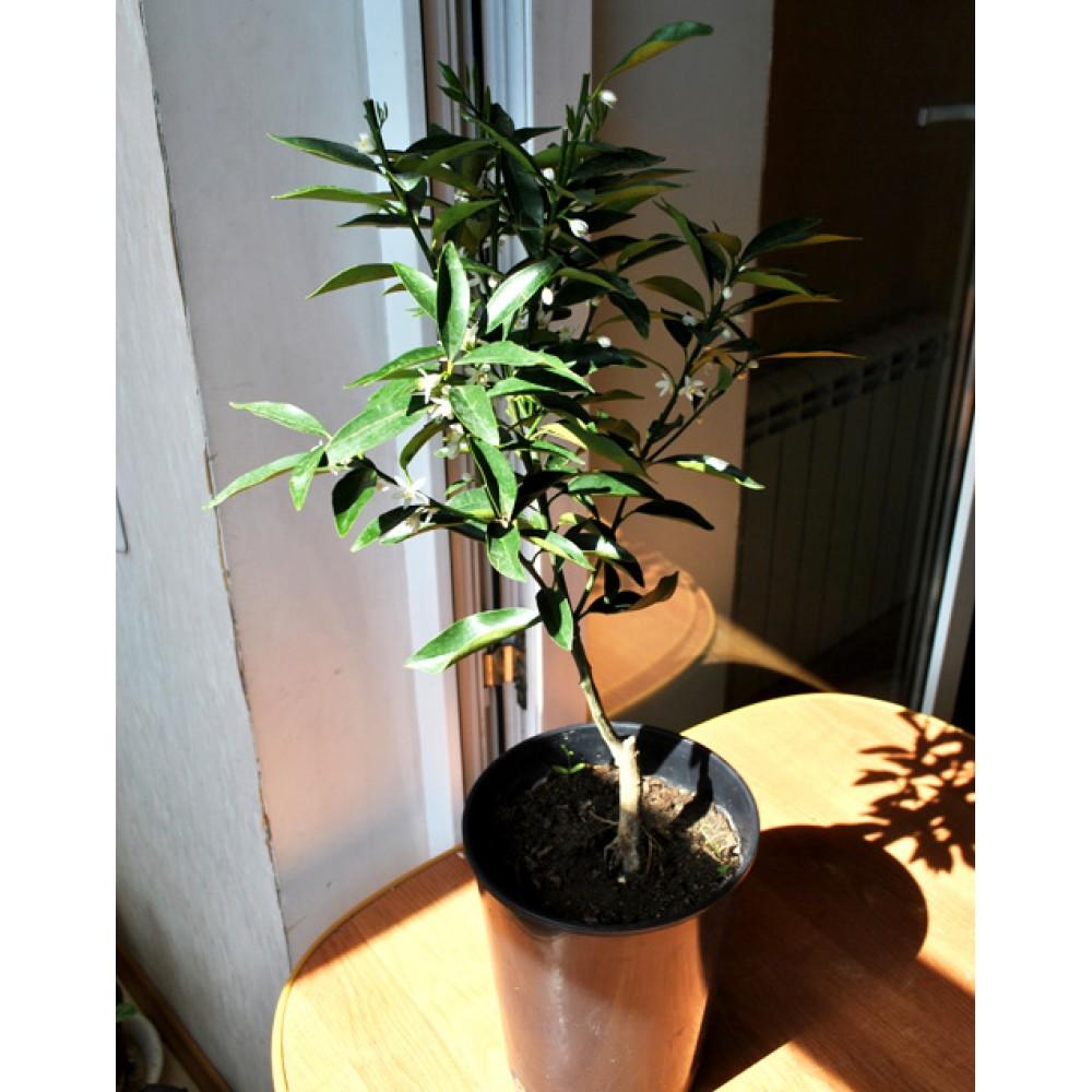 Kinkan, kumquat (0.6-0.8m)