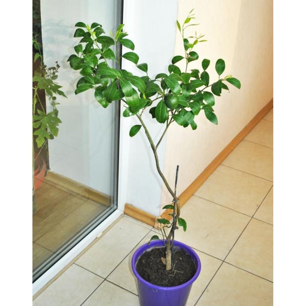 Mandarin Kovano-Vase (0.5-0.7m)