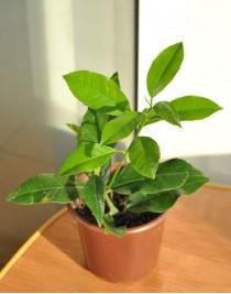 Mandarin Kovano-Vase (0.2-0.4m)