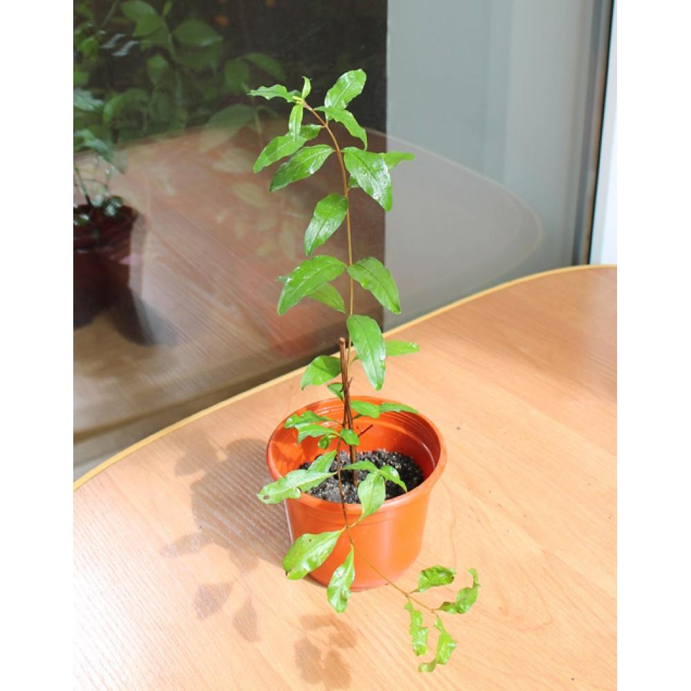 Гранат плодовый (0,2-0,3м)