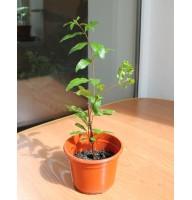 Fruit pomegranate (0.2-0.3m)