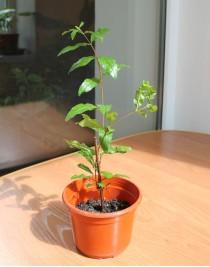 Гранат плодовий (0,2-0,3 м)