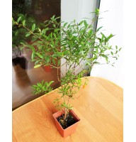 Decorative pomegranate (0.4-0.6m)