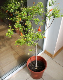 Decorative pomegranate (0.8-1.0m)