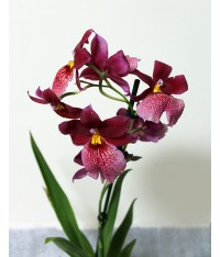 Cambria Orchid (assorted colors)