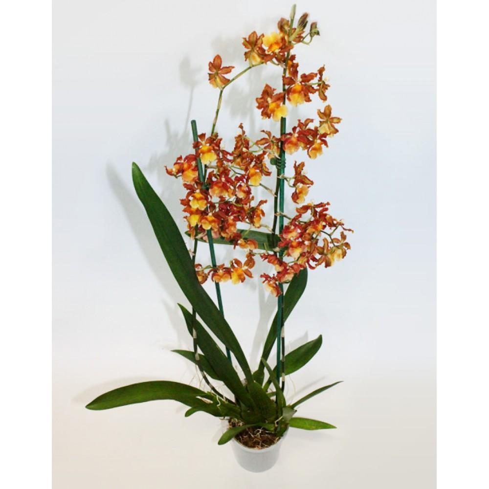 Орхидея Королевская камбрия