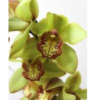 Cymbidium Orchid (assorted colors)