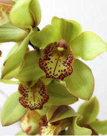 Cymbidium Orchid (assorted colors)