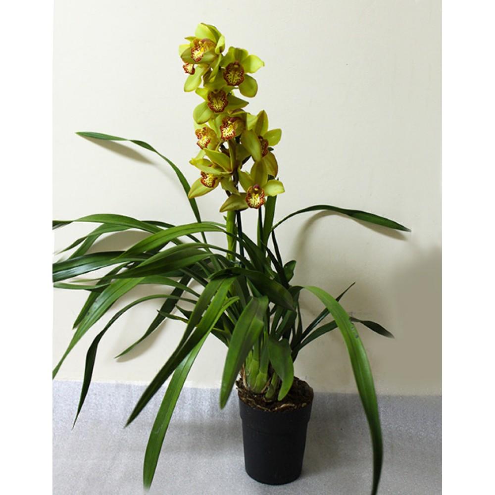 Орхідея Цимбідіум (різні кольори)