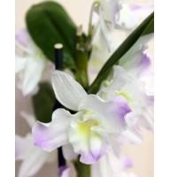 Орхидея Дендробиум микс