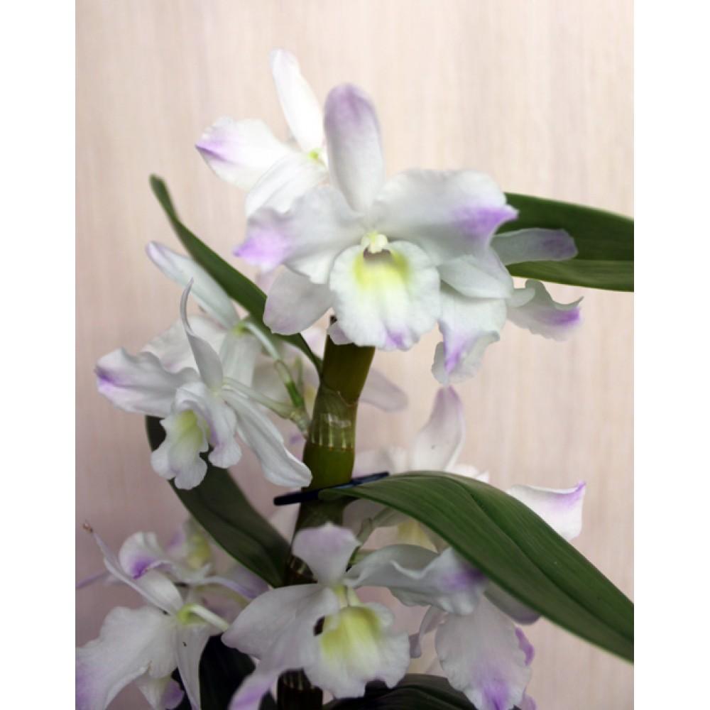 Orchid Dendrobium mix
