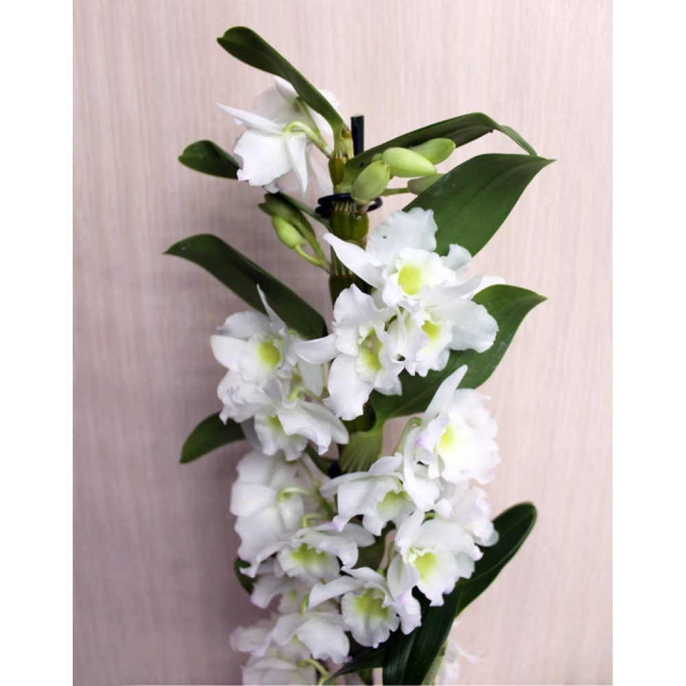 Орхідея Дендробіум Нобіле
