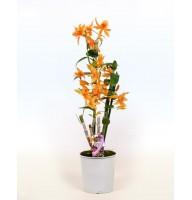 Orchid Dendrobium Orange