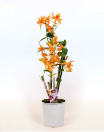 Orchid Dendrobium Orange