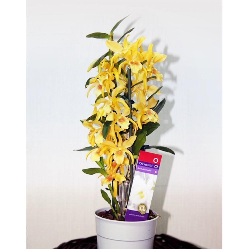 Орхидея Дендробиум Оранж
