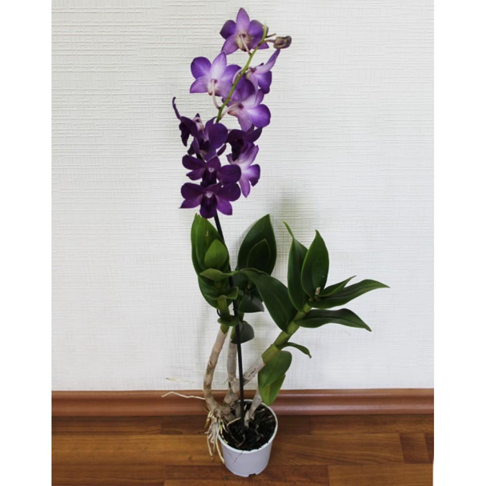 Орхидея Дендробиум Эмма
