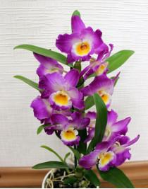 Орхідея Дендробіум Starclass