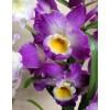 Orchid Dendrobium Starclass