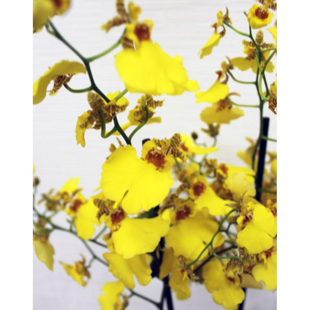 Орхидея Онцидиум желтый
