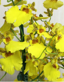 Orchid Oncidium yellow