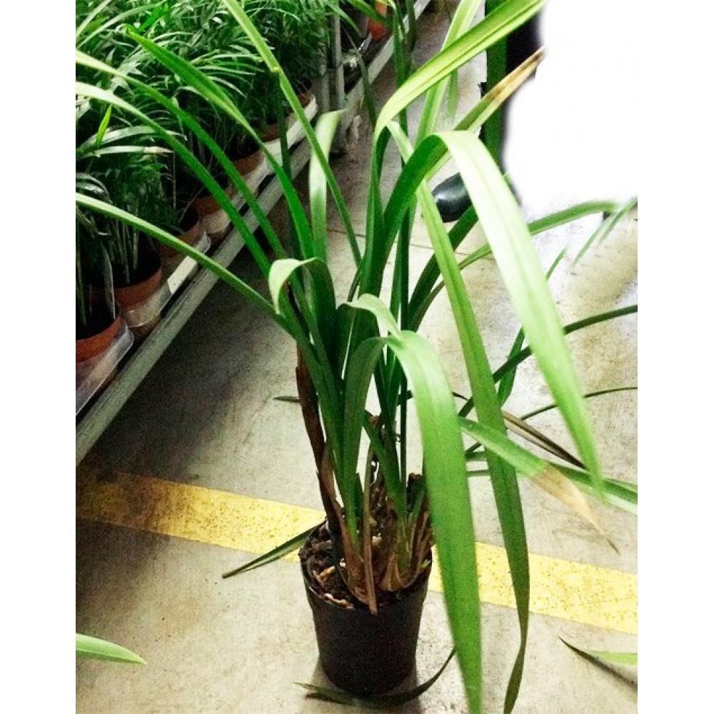 Орхідея Цимбідіум відцвілий